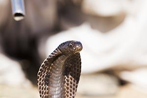 Animal Themes ; Animals ; Close-Up ; Cobra ; Color